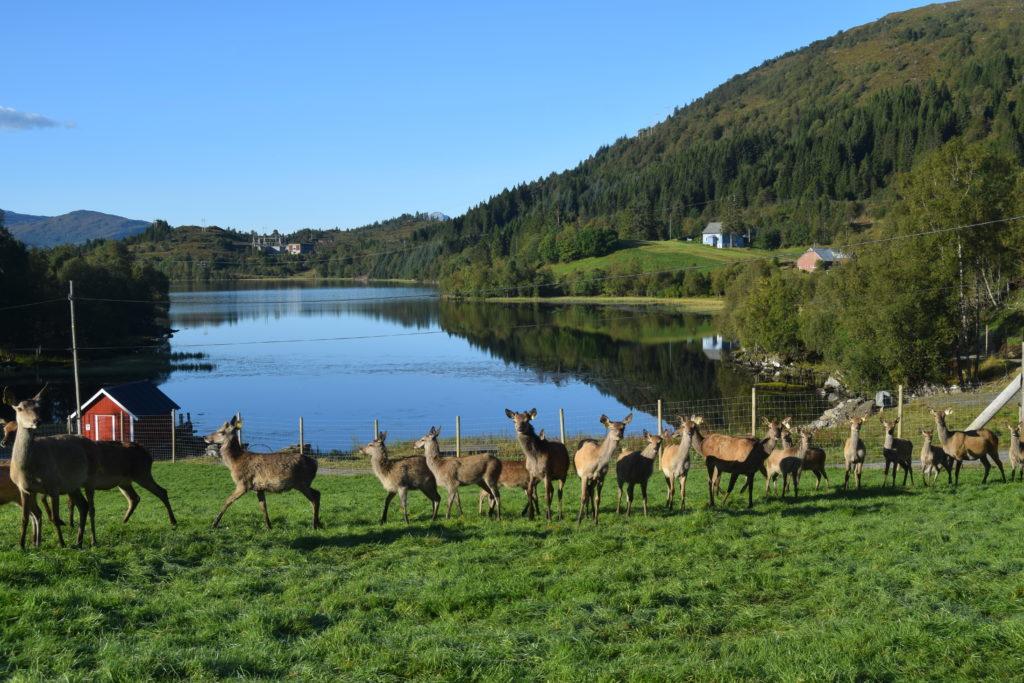 Galleri Nordfjordhjort